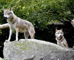 狼 世界 分布 数
