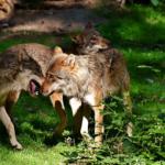 危ない!?野生の狼の危険性とは!?