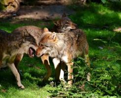 狼 野生 危険