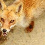 狐の鳴き声をコンコンと表すようになった由来とは!?