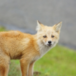 狐の年齢を人間に換算すると何歳になるの!?