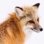 耳が特徴的な狐の耳の動きとは!?