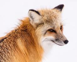 狐 耳 動き