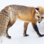 狐が食べる動物って何!?