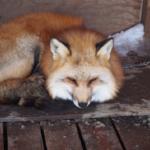 日本で狐はペットとして飼う事は可能なの?
