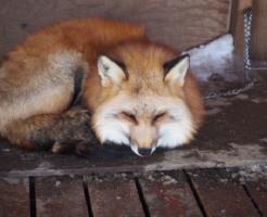 狐 ペット 日本