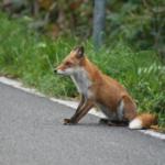 狐の日本の生息地や分布はどこ!?