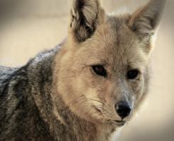 狐 犬 ハーフ