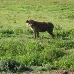 ハイエナはライオンが狩った獲物を横取りするって本当!?