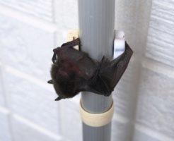 コウモリ 巣 駆除 対策