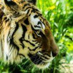 虎の毛皮の平均の値段はいくら!?