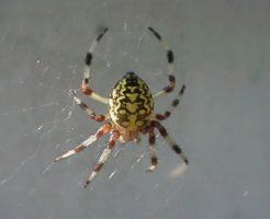 オニグモ 蜘蛛 種類