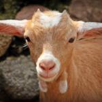ヤギの耳の特徴や耳から読み取る感情とは!?