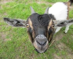 ヤギ 飼育 冬 餌