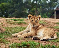 ライオン 子供 斑点