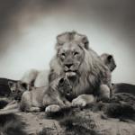 群れを作る動物!ライオンの生態とは?