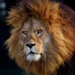 ライオンの目が光るのはどうして!?