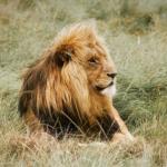 野生のライオンと飼育下のライオンの平均寿命とは!?