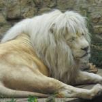 ライオンの毛皮の平均価格はいくら!?