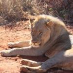 ライオンの足の大きさや特徴とは!?