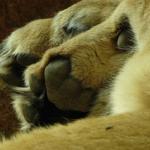 ライオンの前足の指の本数は何本!?