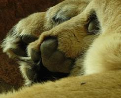 ライオン 前足 指 本数