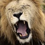 ライオンの歯の特徴について!本数は何本あるの!?