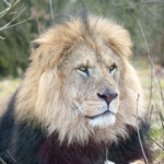 ライオンの強さの見分け方!たてがみで見分ける!?