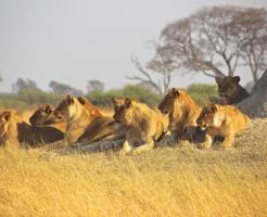ライオン オス 群れ 戦い