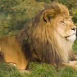 狩りを行わないオスライオンの役割とは!?
