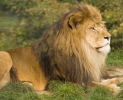 オス ライオン 役割