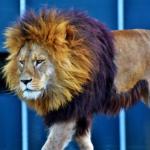 ライオンとトラの掛け合わせ「ライガー」とはどんな動物!?