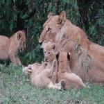 ライオンの年齢を人間に換算したら何歳!?