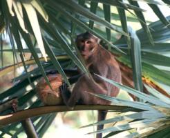 タイ 猿 種類 肥満