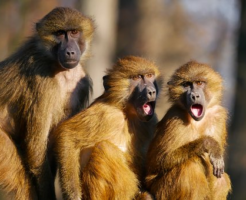 猿 鳴き声 意味