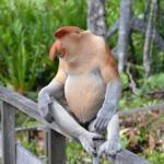 鼻が大きいのが特徴的な「テングザル」ってどんな猿!?