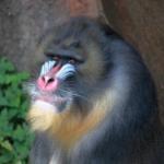 鼻が赤い猿の種類は何がいるの!?