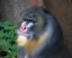 鼻 赤い 猿