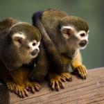 ペットとして飼える猿の小さい種類とは?価格はいくら!?