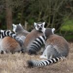 マダガスカルの固有種の猿の名前は何!?