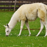 動物ラマの繁殖の時期や方法とは!?