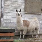 ラマとアルパカの身長や大きさの違いは!?