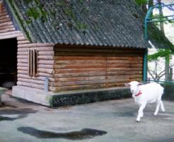ヤギ 小屋 作り方 大きさ