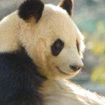 ジャイアントパンダの平均の身長と体重はどれくらい?
