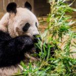 ジャイアントパンダの色が白黒な理由とは!?