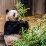 ジャイアントパンダが昔と比べて減少した原因とは?