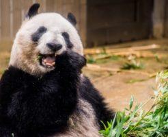 ジャイアントパンダ 日本 動物園