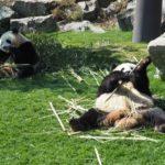 中国の野生のジャイアントパンダの生息地は!?