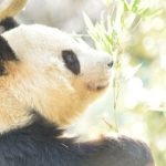 ジャイアントパンダが絶滅危惧種から解除された理由とは?