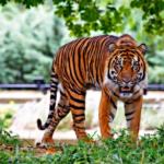 トラとチーターとヒョウの違いとは!?